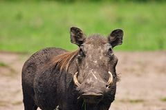 Wild hog. In african savanna Royalty Free Stock Photo