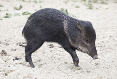 Wild hog Royalty Free Stock Image