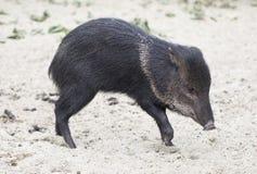 wild hog royaltyfri bild
