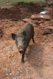 wild hog arkivfoton