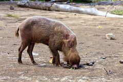 Wild hog animal on the beach Royalty Free Stock Photography