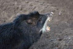 Wild Hog Royalty Free Stock Image