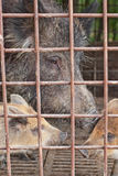 Wild hog in cage Royalty Free Stock Photography
