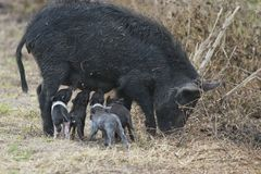 Wild hog with cute piglets Royalty Free Stock Photography