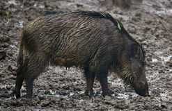 Wild hog female and piglets in the mud Stock Images