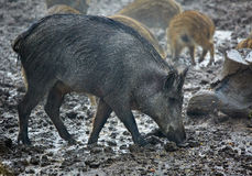 Wild hog female and piglets in the mud Royalty Free Stock Image