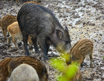 Wild hog female and piglets in the mud Royalty Free Stock Photos