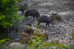 Wild hog female and piglets in the mud Royalty Free Stock Photography