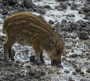 Wild hog female and piglets in the mud Stock Photography