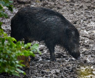 Wild hog female and piglets in the mud Royalty Free Stock Images