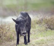 Wild hog female Stock Images
