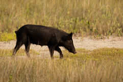 Wild hog in Florida Stock Photo