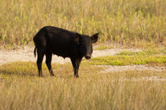 Wild hog in Florida Royalty Free Stock Photos