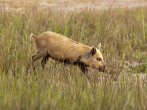 Wild hog in Florida Royalty Free Stock Photography