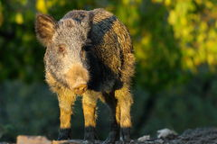 Wild hog in a glade Stock Image