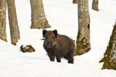 Wild hog in natural habitat Stock Photography