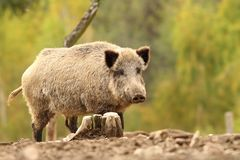 Wild hog near stump Stock Images