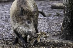 Wild hog with pack of hoglets playing, eating and sleeping royalty free stock photography