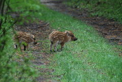 Wild hog piglets... Royalty Free Stock Photography