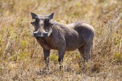 Wild hog in Serengeti Royalty Free Stock Images