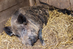 Wild hog with straw Royalty Free Stock Images