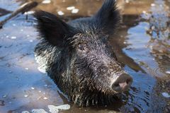 Wild hog up to neck in mangrove swamp. Stock Images