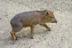 wild hogpiglet royaltyfria foton