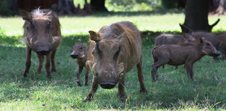 Wild Hogs. In Swaziland, Southern Africa stock photos