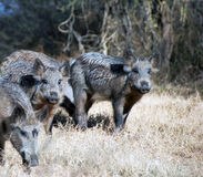 Wild hogs. In a field Royalty Free Stock Images