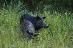 Wild Hogs Royalty Free Stock Photography