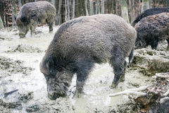Wild hogs in mud. A group of wild boars searching for food in the mud with their snouts in the forest Royalty Free Stock Photos