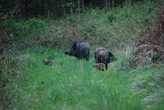 Wild hogs with piglets... Royalty Free Stock Image