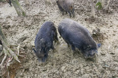 Wild hogs in sludge. A group of wild boars searching for food in the mud with their snouts in the forest Royalty Free Stock Photography