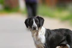 Wild hondportret op de straat Royalty-vrije Stock Foto