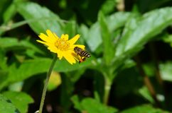 Honeybee with pollen sack in flight approaching to land on a yellow daisy-like wildflower in Thailand Stock Photography