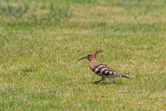Wild hoopoe on the green grass Royalty Free Stock Photos