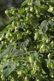 Wild hop Stock Photos