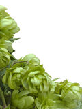 Wild Hop Cutout. Wild Hop Humulus Lupulus Cutout Additional format is with transparent background stock photo