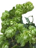 Wild Hop Cutout royalty free stock photos