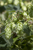 Wild hops Stock Photography