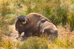Wild horned Buffalo resting in grass field. Buffalo herd located in Northwest Trek Wildlife Park in Eatonville, WA south of Seattle, Washington. This park is stock photos