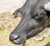 Wild Horned Bull Portrait Stock Images