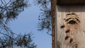 Wild hornet wasp flying into wooden bird nesting box in pine. 4K. Close up of group wild hornet wasp flying into wooden bird nesting box in pine. 4K UHD video stock footage