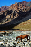 Wild horse. A wild himalayan horse, Ladakh, India Royalty Free Stock Photos