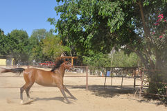 Wild horse. Young horse galloping in enclosure stock images