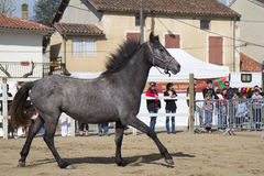 Wild horse. VIC-FEZENSAC, FRANCE, APRIL 2, 2011: Show for buyers at the fair in horses, with a beautiful grey horse, on Saturday, April 2, 2011, in Vic-Fezensac stock photography