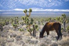 Wild Horse. In the desert near Las Vegas, Nevada Royalty Free Stock Photo
