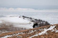 Wild horse. Lake Baikal,Olkhon Royalty Free Stock Photos