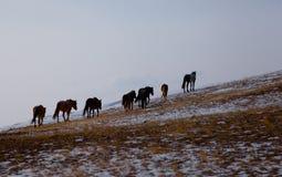 Wild horse. Lake Baikal,Olkhon Stock Image