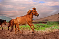 Wild horse. This is the life in China on Mongolian grassland of the wild horse。Afraid of wild horses running fast nomads, control, so the wild horse front feet Stock Photo